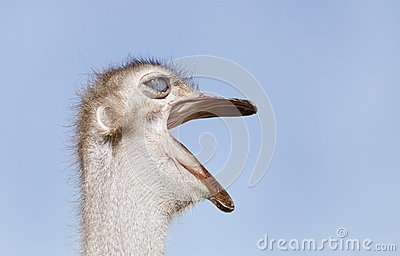 Closeup of Ostrich making rumbling sound