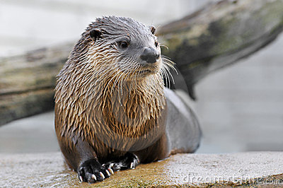Closeup otter on rock