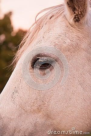 Closeup of a Palomino horse face