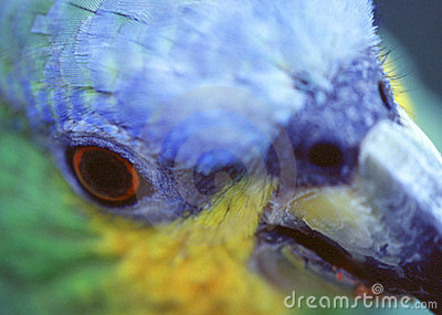 Closeup of a parrot