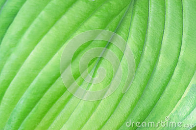 Closeup of Patterns in Hosta Leaf