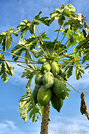 Closeup of pawpaw tree with fruits