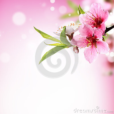 Closeup of peach flower