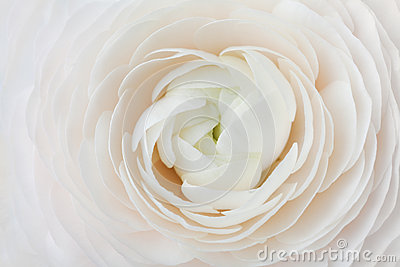 Closeup of peach ranunculus for abstract background, beautiful spring flower, wedding floral pattern, macro Stock Photo