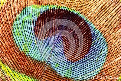 Closeup of a Peacock feather