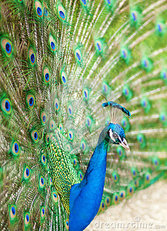 Closeup of peacock with its tail