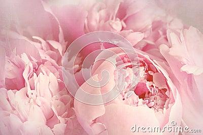 Closeup of peony flowers Stock Photo