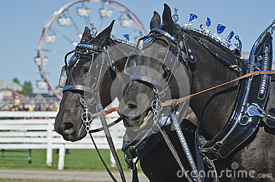Closeup of Percheron Draft Horses at Country Fair