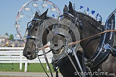 Closeup of Percheron Draft Horses at Country Fair