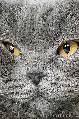 Closeup photo of a quiet British cat