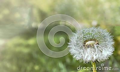 Closeup Photograph Of White Dandelion Free Public Domain Cc0 Image