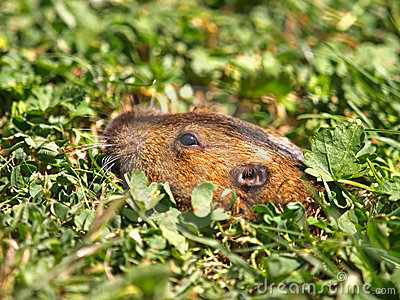 Closeup Picture of Ground Hog