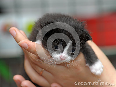 Closeup picture of hands holding little kitty.