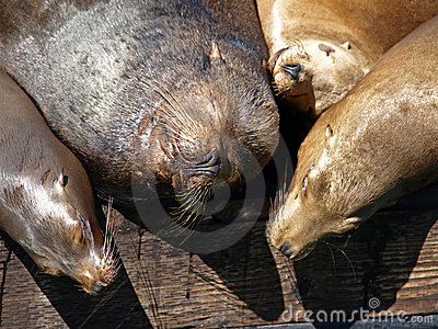 Closeup Picture of Sealion s Head