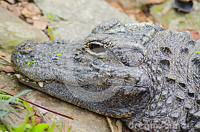 Closeup picutre of a Chinese alligator