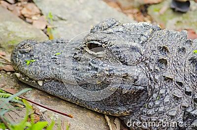 Closeup picutre of a Chinese alligator