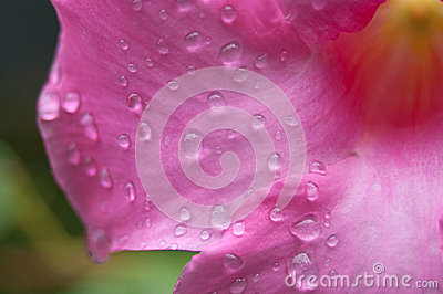 Closeup of Pink Flower With Drops of Water
