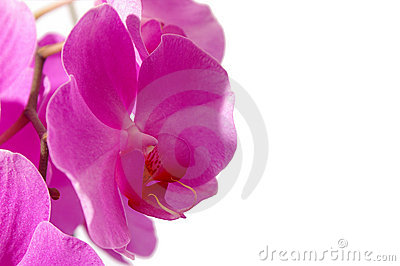 Closeup of a pink phalaenopsis