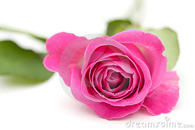 A closeup of a pink rose