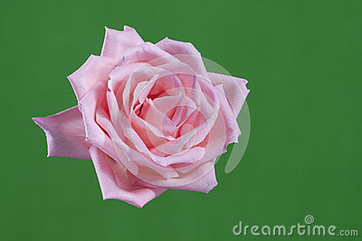 Closeup pink rose
