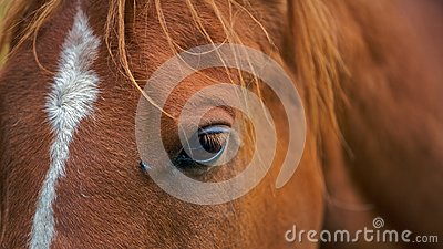 A closeup portrait of the head brown horse