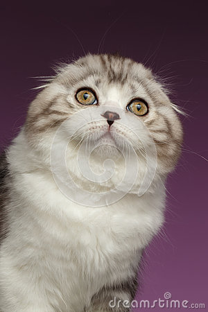 Free Closeup Portrait Of White Scottish Fold Kitten On Purple Stock Images - 65307264