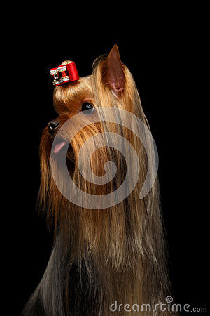 Free Closeup Portrait Of Yorkshire Terrier Dog Showing Tongue On Black Royalty Free Stock Photo - 61439405