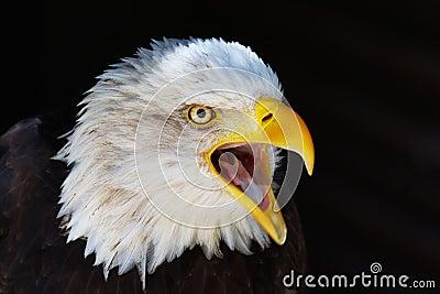 Closeup portrait of a screaming Eagle