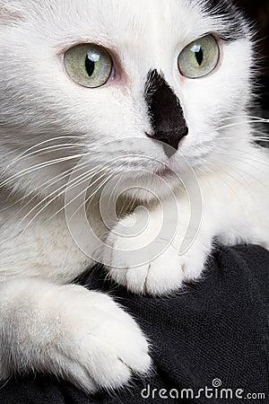 Closeup portrait white cat with black nose