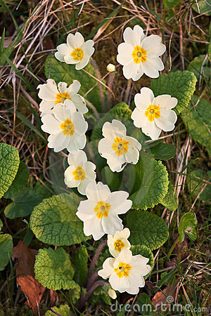 Closeup of primroses in warm afternoon light
