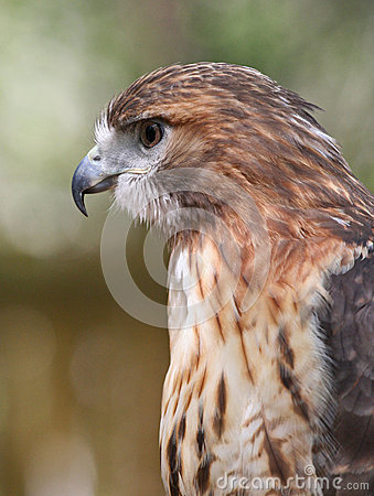 Closeup Profile of Red Tailed Hawk Raptor