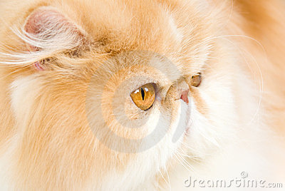 Closeup profile of red with white Persian
