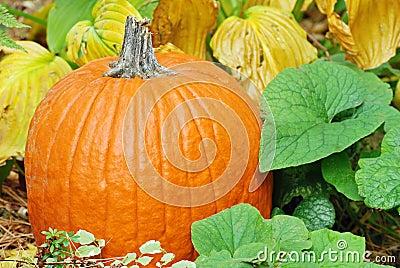 Closeup pumpkin with plants