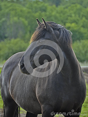 Portrait of Purebred Canadian Horse