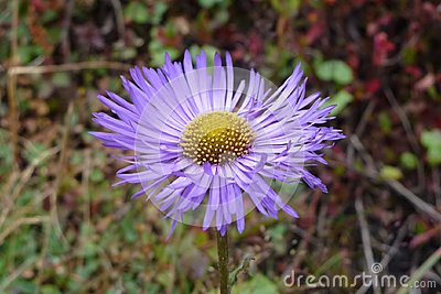 Purple aster flower in Namche Bazaar, Everest Base Camp trek, Nepal Stock Photo