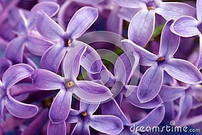 Closeup of purple lilac flower