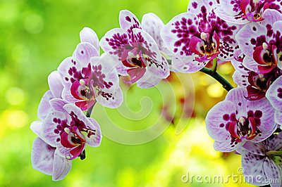 Closeup of purple orchid