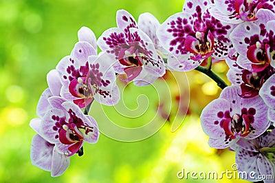 Closeup of purple orchid