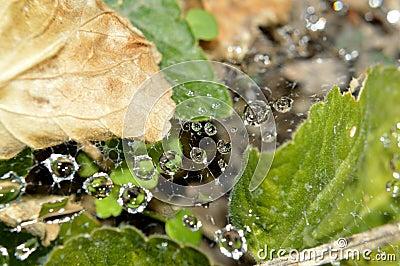 raindrops in web