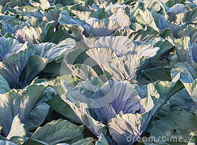 Closeup of red cabbage plants in the field