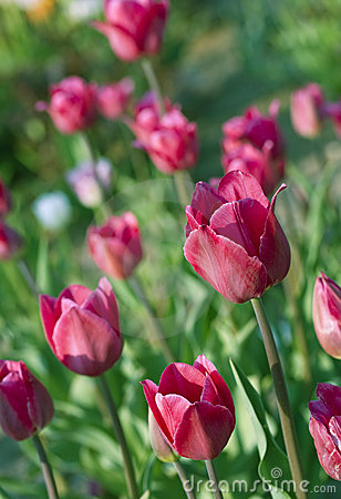 Closeup on red fresh tulip flowers
