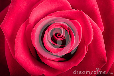 Closeup red rose flower as love nature background Stock Photo