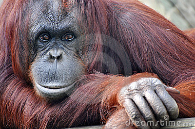 Closeup Resting Orangatang