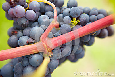 Closeup of ripe red vine grapes