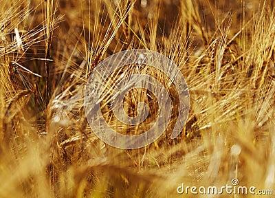Closeup of ripe wheat