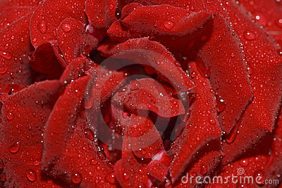 Closeup of rose bud with water droplets