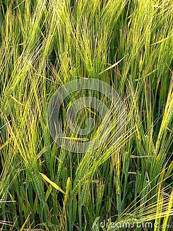 Closeup Rye Field