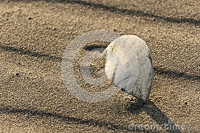 Closeup on a Sand Dollar