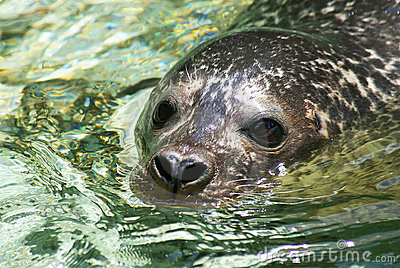 Closeup of a seal