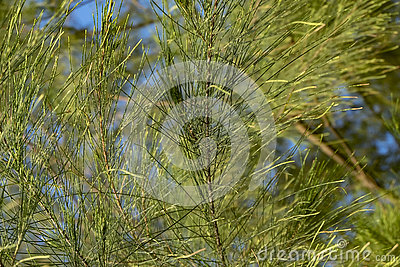 Closeup and selective focus image of casuarina plant leaves